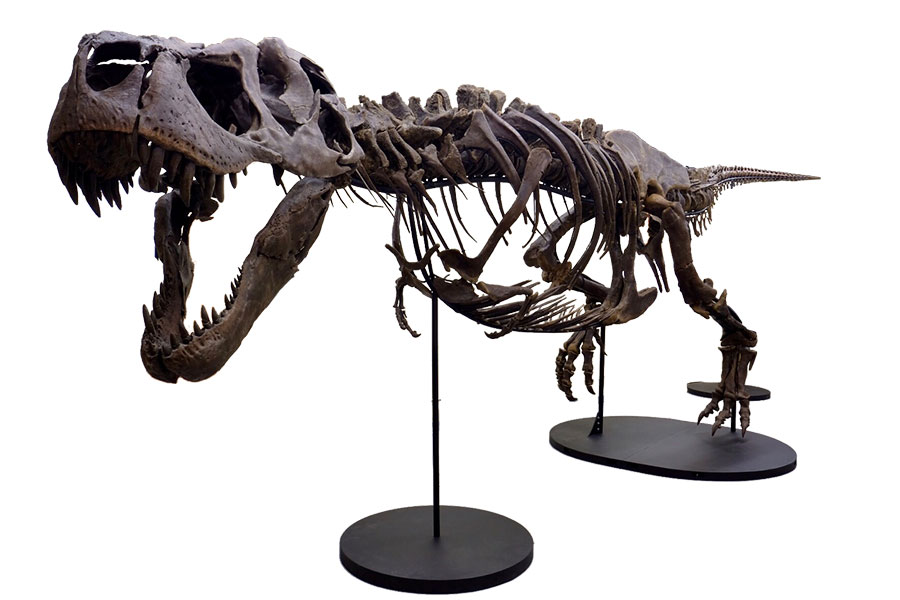Victoria the T-Rex